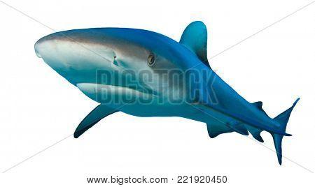 Shark isolated white background. Grey Reef Shark