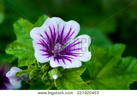 Mallow flower, summer forest mallow, in Latin Malva sylvestris. Summer flower background, closeup of mallow flower in summer blossom. Summer mallow flower blooming in the summer garden