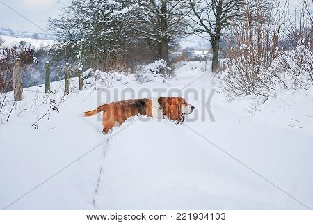 Basset hound walk on white snow in a winter farm  with background tree without leaf in blurry and white foggy sky, europe in winter season.