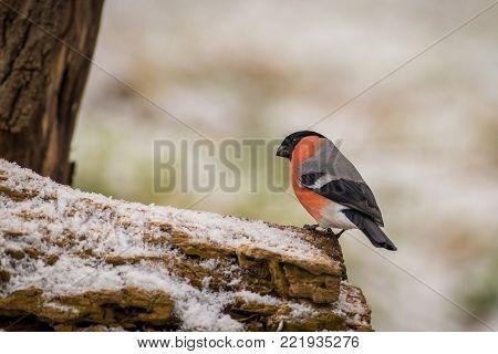 The bullfinch, common bullfinch or Eurasian bullfinch ( Pyrrhula pyrrhula) sitting on the branch with brown background