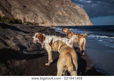 Greek dog daily life in Perissa beach, Santorini, Cyclades, Greece.