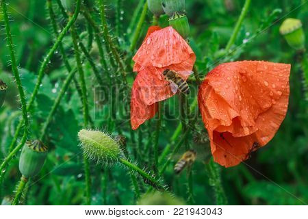 Bees drink water from poppies after rain. Papaver rhoeas, common, corn, Flanders, red poppy, corn rose, field is flowering plant poppy family Papaveraceae. Bees collect pollen from Papaver rhoeas. Honey plants Ukraine.