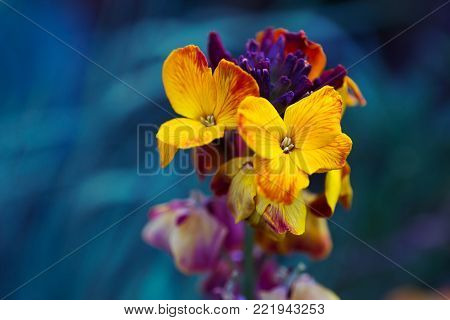 Close-up yellow wallflower on dark blue background. Colorful spring outdoor blossom.