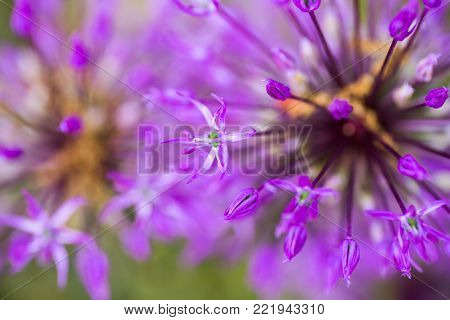 Close-up purple Allium flowers. Abstract natural violet macro background.