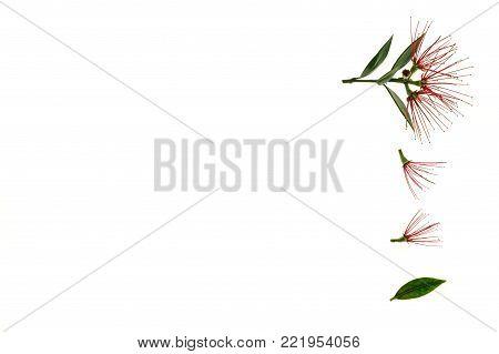 New Zealand Christmas tree flowers on white background