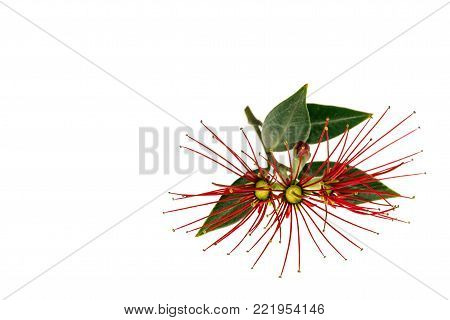 closeup of red pohutukawa flowers isolated on white background