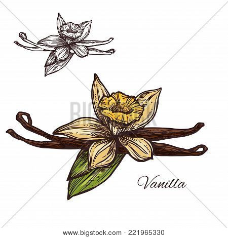 Vanilla spice herb sketch icon. Vector isolated flower and pod of vanilla plant for culinary cuisine cooking or flavoring herbal seasoning ingredient, botanical or grocery store and market design