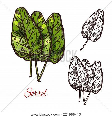 Sorrel vegetable spice herb plant sketch icon. Vector isolated leaf of wild sorrel lettuce for culinary cuisine cooking or flavoring herbal seasoning ingredient or grocery store and market design