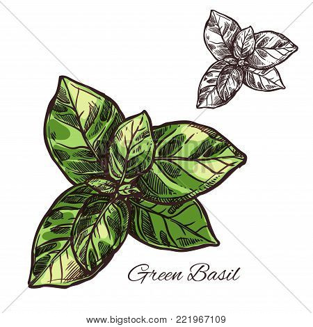 Green basil seasoning spice herb sketch icon. Vector isolated leaf of basil for culinary cuisine cooking or flavoring herbal seasoning ingredient or grocery store and market design