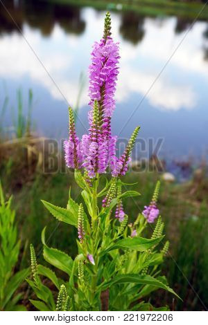 False dragonhead flowers (Physostegia virginiana), also called obedient plants, or obedience, bloom near the shore of a small lake in Joliet, Illinois, during July.