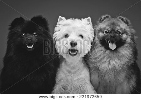 two beautiful spitz dogs and west highland white terrier on grey background. happy faces. Studio shot on dark background.