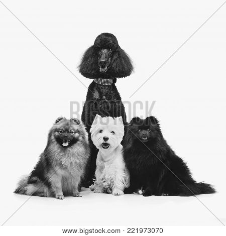 two beautiful spitz dogs and poodle on grey background. happy faces. Studio shot on dark background.