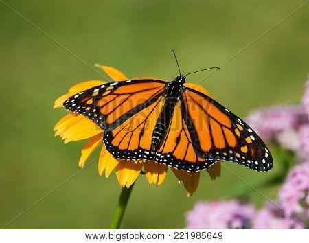 Newly emerged Monarch butterfly (Danaus plexippus) on yellow coneflower in the garden