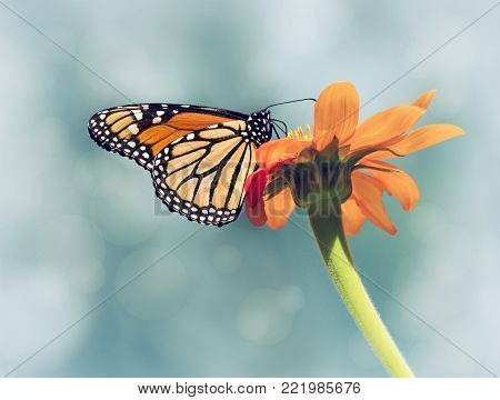 Monarch butterfly (Danaus plexippus) feeding on Mexican sunflower. Blue sky background with vintage filter effects.