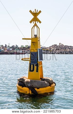Yellow buoy covered by sunbathing sea lions in the Port of Ensenada in Baja California, Mexico.