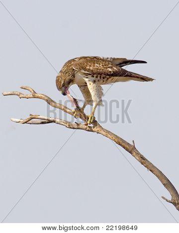 Northern Harrier Eating 882v