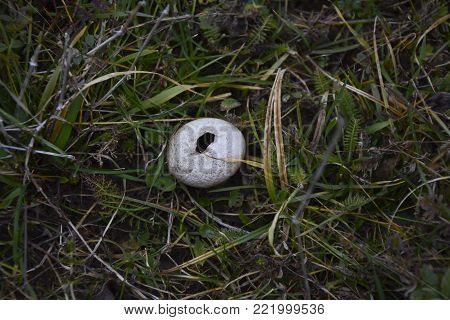 Mature puffball mushroom in the grass, near a macedonian village.