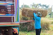 Thai farmer harvest and carry rice straw to truck for livestock poster