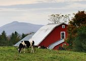 black and white cow in front of a red vermont barn. poster
