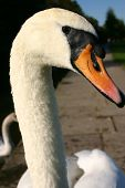 Whooper swan head and neck only portrait poster