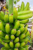 Healthy food, bunch of yellow and green banana tropical fruit riping on banana tree poster