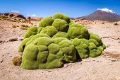 Rock covered with green moss in Bolivian sud lipez poster