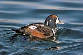 Harlequin Duck swimming in the cold Atlantic Ocean during the winter poster