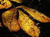 A glowing gold colored leaf takes on its autumn gold foliage as it is backlit by the sun. poster