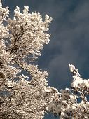 Treetop With Snow