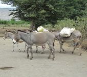 Group of masaian pack donkeys on the road in masaian village near lake Natron, Tanzania poster