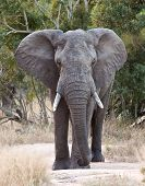 Big elephant approaching along a road tusks trunk poster