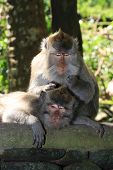 Macaque spa pocedures - a monkey grooming poster