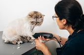 Cat grooming in pet grooming salon. Woman uses the trimmer for trimming paws. poster