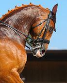 Equestrian sport - dressage / head of sorrel horse poster