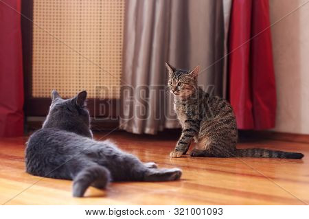 Two Cats Communicate Or Play At Home. One Is Of Tabby Color, Sitting With Displeased Face Expression