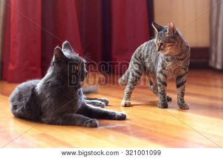 Two Cats Communicate Or Play At Home. One Is Of Tabby Color, Standing With Displeased Face Expressio