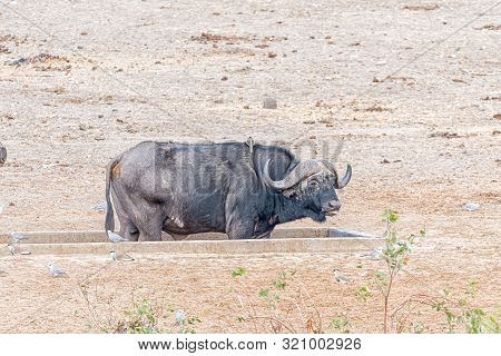 A Cape Buffalo Bull, Syncerus Caffer, Standing Inside A Water Trough. Birds Are Visible