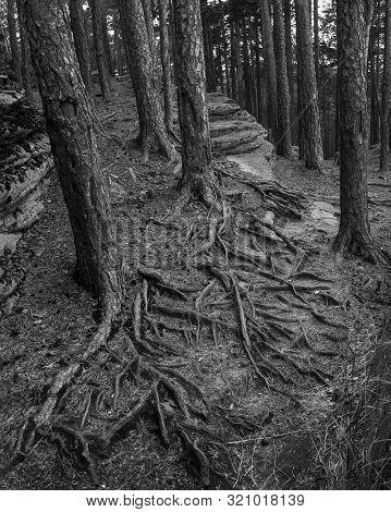 The Roots Of Pine Trees. Autumn Forest. Kazakhstan, Karkaralinsk.