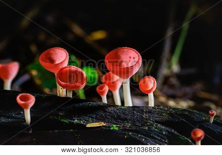 Fungi Cup Red Mushroom Champagne Cup Or Pink Burn Cup,tarzetta Rosea ( Rea) Dennis (pyronemataceae),
