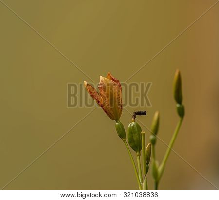 Iris Domestica Orange Bloom With Yellow Background In Summer Day