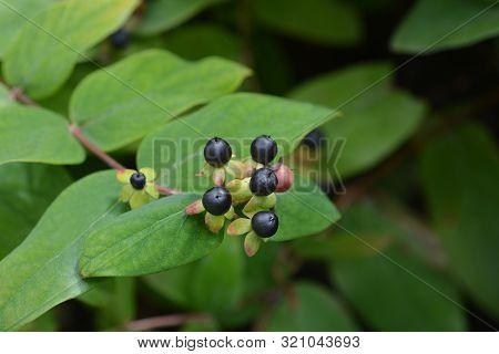 Shrubby St Johns Wort Berries - Latin Name - Hypericum Androsaemum