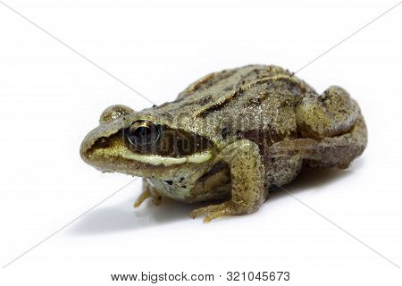 Isolate A Small Siberian Brown Gray Frog Which Sits On A White Background