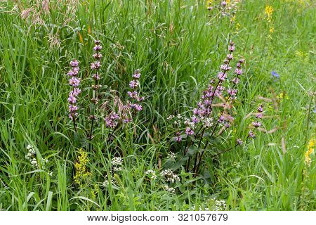 Phlomoides Tuberosa Is A Perennial Flowering Plant Of The Lamiaceae Family In The Summer Meadow.