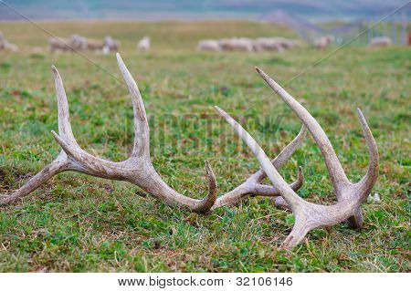 Horns Of A Deer