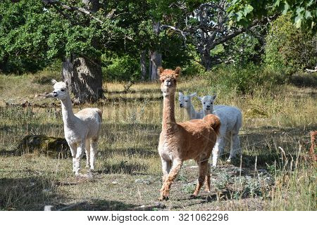 Alpacas In A Pastureland With Old Oak Trees In Sweden