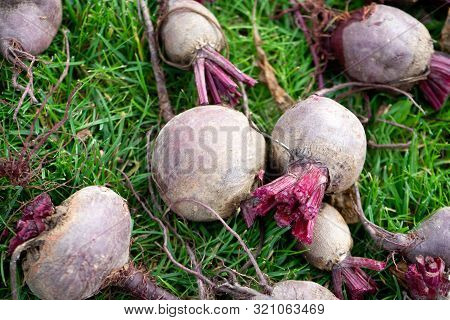 Fresh Organic Sliced Beets, Beets On The Ground Among Green Grass. Bright Harvest. A Pile Of Pure Be