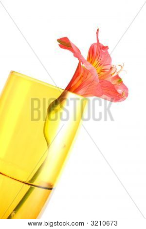 Red Peruvian Lily