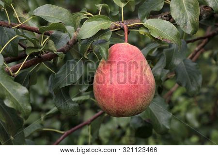 Ripe pear on a branch on a background of green leaves