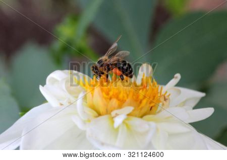 Wild bee collects honey on a beautiful flower