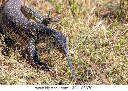 Monitor Lizard, Varanus Niloticus In Chobe National Park, Botswana Africa Wildlife